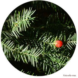 Baumbotschaft Baumwesen Eibe